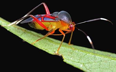 Capsid Bug (Kosmiomiris rubroornatus), Danum Valley Conservation Area, Sabah, Borneo, Malaysia