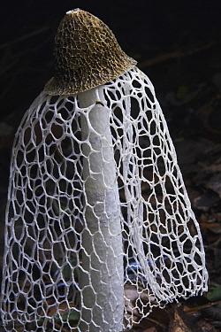 Stinkhorn (Phallus indusiatus) mushroom, Yasuni National Park, Ecuador