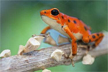 Strawberry Poison Dart Frog (Oophaga pumilio), bastimentos morph, Bastimentos Island, Panama