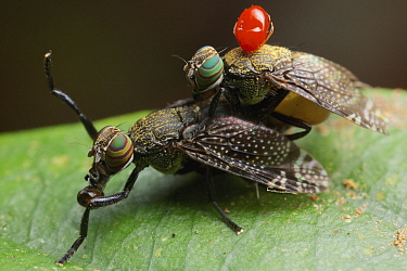 Fruit Fly (Tephritidae) pair mating, with mite on back, Gunung Leuser National Park, Sumatra, Indonesia