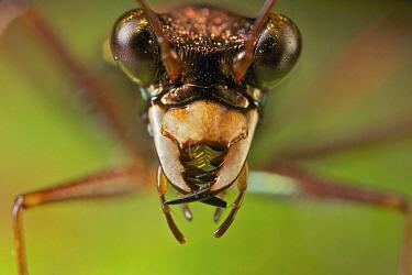 Ground Beetle (Carabidae), Ankarana Special Reserve, Madagascar