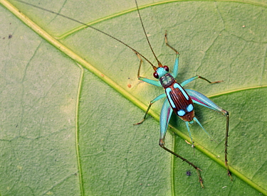 Cricket (Gryllidae), Udzungwa Mountains National Park, Tanzania