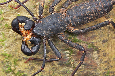 Whip scorpion with remnants of millipede prey, Danum Valley Conservation Area, Sabah, Borneo, Malaysia