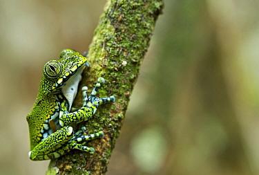 Peacock Tree Frog (Leptopelis vermiculatus), Amani Nature Reserve, Tanzania