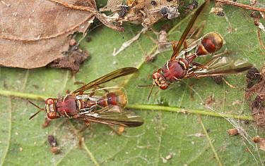 Fruit Fly (Dacus longicornis) pair, wasp mimics, Cuc Phuong National Park, Vietnam