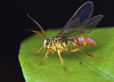 Moth (Myrmecopsis sp), wasp mimic, Amazon, Ecuador