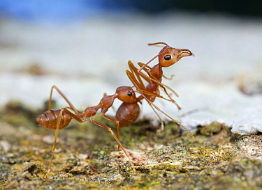 Green Tree Ant (Oecophylla smaragdina) carrying each other to conserve energy, Cat Tien National Park, Vietnam