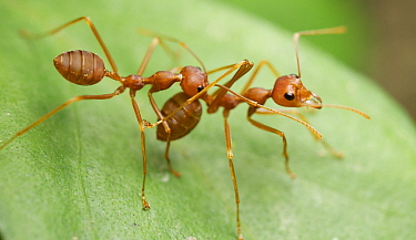 Green Tree Ant (Oecophylla smaragdina) carrying each other to conserve energy, Angkor Wat, Cambodia