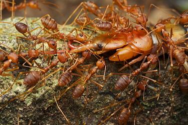 Green Tree Ant (Oecophylla smaragdina) group predating centipede, Angkor Wat, Cambodia