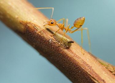 Green Tree Ant (Oecophylla smaragdina) guarding treehopper, Angkor Wat, Cambodia