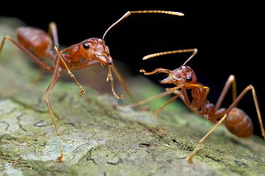 Green Tree Ant (Oecophylla smaragdina) pair, Angkor Wat, Cambodia