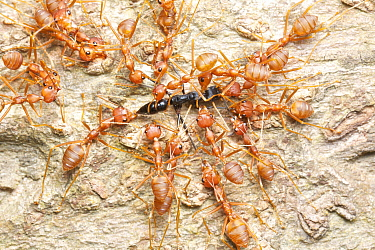 Green Tree Ant (Oecophylla smaragdina) group attacking foreign Ant (Formicidae), Angkor Wat, Cambodia