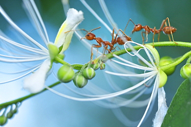 Green Tree Ant (Oecophylla smaragdina) pair on flowering plant, Angkor Wat, Cambodia