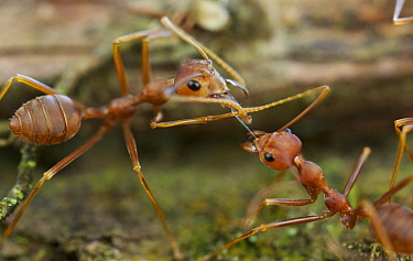 Green Tree Ant (Oecophylla smaragdina) pair exchanging food, Cat Tien National Park, Vietnam