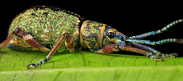 True Weevil (Curculionidae) with iridescent scales, Amani Nature Reserve, Tanzania
