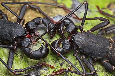 Whip scorpion pair courting, Bukit Barisan Selatan National Park, Sumatra, Indonesia