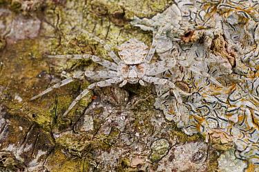 Flattie (Selenopidae) spider camouflaged on tree, Cuc Phuong National Park, Vietnam