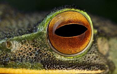 Eastern White-lipped Treefrog (Boophis albilabris) eye, Antananarivo, Madagascar