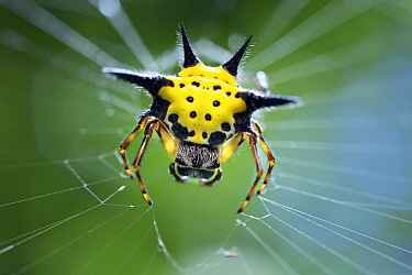 Spiked Spider (Gasteracantha sp), Angkor Wat, Cambodia