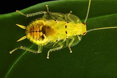 Cockroach (Chorisoneura sp), Yasuni National Park, Ecuador