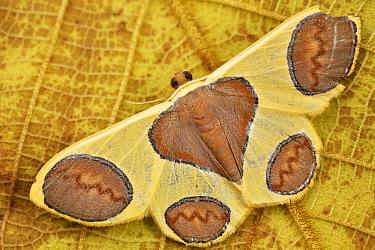 Geometer Moth (Plutodes flavescens), Mount Kinabalu National Park, Sabah, Borneo, Malaysia