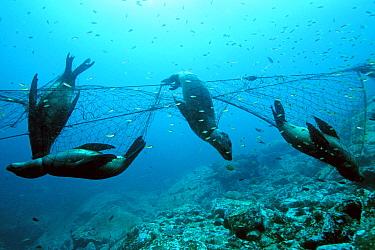 California Sea Lion (Zalophus californianus) group killed as bycatch in gillnet, Coronado Islands, Baja California, Mexico