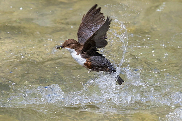 White-throated Dipper (Cinclus cinclus) emerging from river with prey, Alps, Bavaria, Germany