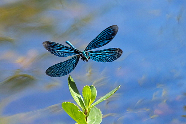 Beautiful Demoiselle (Calopteryx virgo) flying, Bavaria, Germany