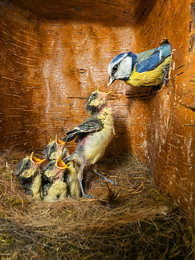 Blue Tit (Cyanistes caeruleus) parent with begging chicks in nest box, Bavaria, Germany