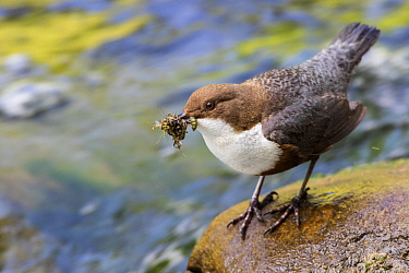 White-throated Dipper (Cinclus cinclus) with prey, Alps, Bavaria, Germany