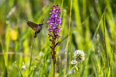 Hummingbird Hawk-moth (Macroglossum stellatarum) feeding on Fragrant Orchid (Gymnadenia conopsea) flower orchid, Upper Bavaria, Germany