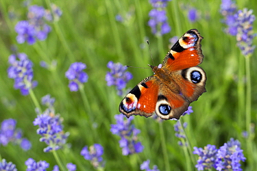 Peacock Butterfly (Inachis io) on Lavender (Lavandula sp), Bavaria, Germany