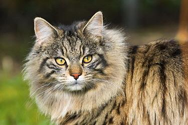 Domestic Cat (Felis catus), Bavaria, Germany