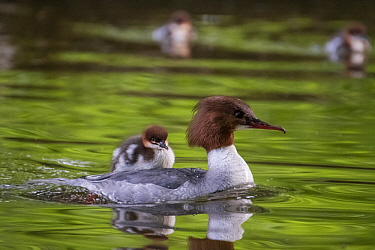 Common Merganser (Mergus merganser) mother with chicks, one riding on her back, Upper Bavaria, Germany