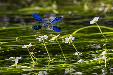 Banded Demoiselle (Calopteryx splendens) flying, Bavaria, Germany