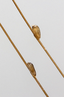 Human Louse (Pediculus humanus) eggs on hair, Germany