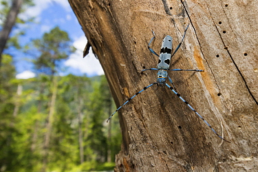 Rosalia Longicorn (Rosalia alpina) beetle in forest, Alps, Upper Bavaria, Germany