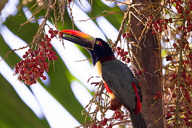 Fiery-billed Aracari (Pteroglossus frantzii) feeding on fruit, Osa Peninsula, Costa Rica