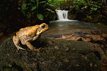 Cane Toad (Bufo marinus) near waterfall, Osa Peninsula, Costa Rica