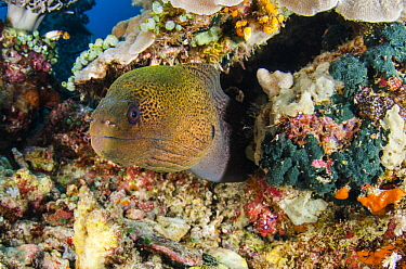 Giant Moray Eel (Gymnothorax javanicus), Raja Ampat Islands, Indonesia