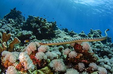 Broad-banded Blue Sea Krait (Laticauda semifasciata) in coral reef, Gili Air, Banda Sea, Indonesia