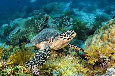 Hawksbill Sea Turtle (Eretmochelys imbricata), Raja Ampat Islands, Indonesia