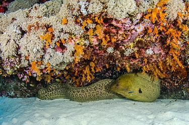 Yellow-edged Moray (Gymnothorax flavimarginatus) hiding in reef, Raja Ampat Islands, Indonesia