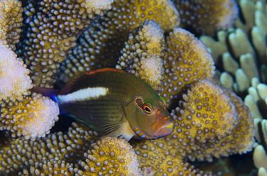 Arc-eye Hawkfish (Paracirrhites arcatus), Banda Sea, Indonesia