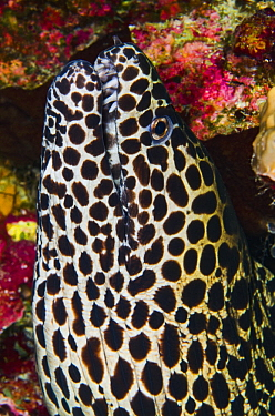 Honeycomb Moray Eel (Gymnothorax favagineus), Banda Sea, Indonesia