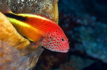 Freckled Hawkfish (Paracirrhites forsteri), Banda Sea, Indonesia