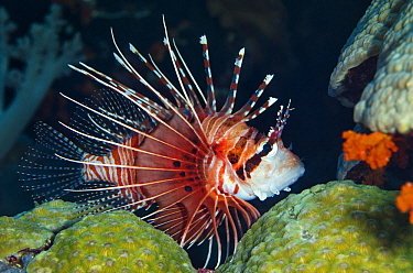 Spotfin Lionfish (Pterois antennata), Banda Sea, Indonesia