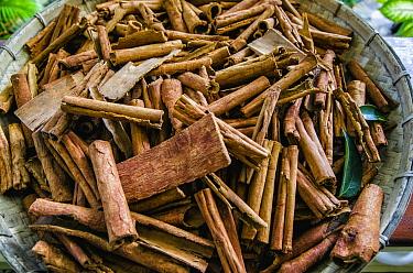 Cinnamon (Cinnamomum sp), Banda Sea, Indonesia