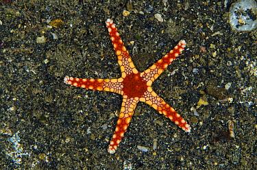 Candy Cane Sea Star (Fromia monilis), Banda Sea, Indonesia