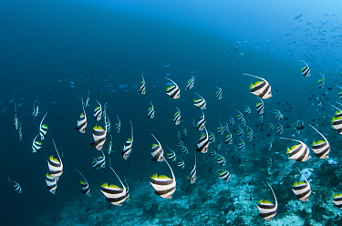 Bannerfish (Heniochus diphreutes) school, Banda Sea, Indonesia
